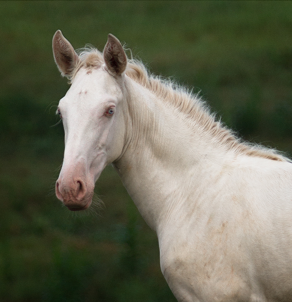 headshot of DEM Bonita cremelo Lusitano filly