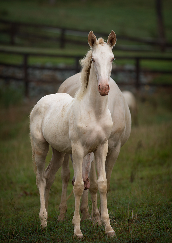 DEM Bonita cremello Lusitano filly standing in field looking at camera