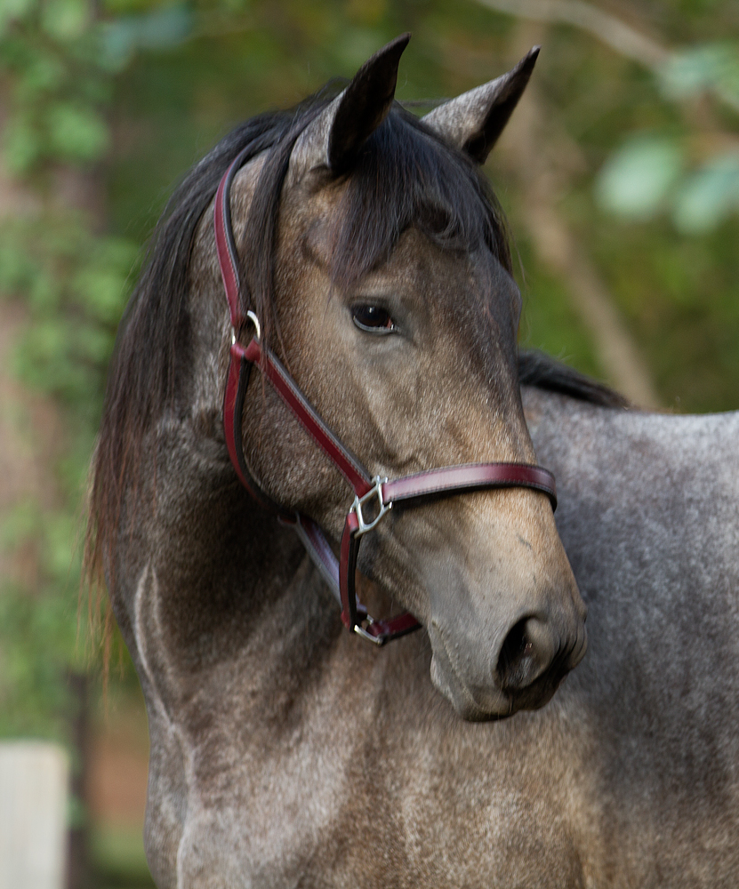 headshot of DEM Felicity gray Lusitano mare