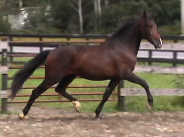 Gladius, foal of Finale TCV, PRE Andalusian mare