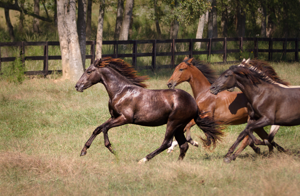 DEM Leon dark bay Lusitano cantering at the front of a group of colts