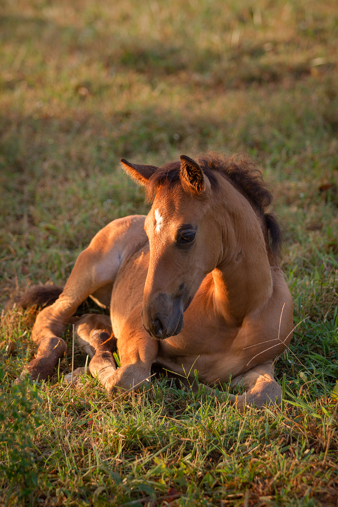 DEM Matador bay Lusitano colt laying down in grass