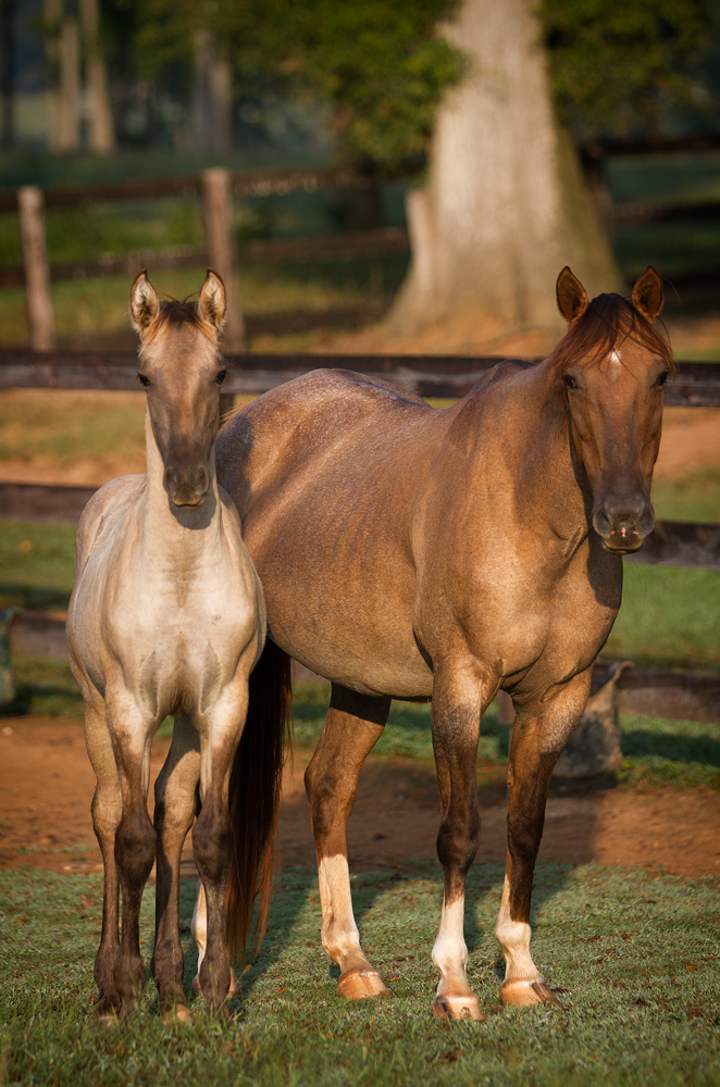 DEM Mielada half Lusitano filly standing beside mother Jabez