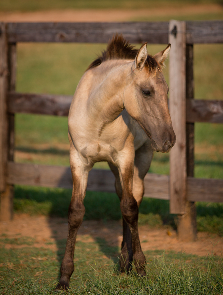DEM Mielada half Lusitano filly standing beside fence line