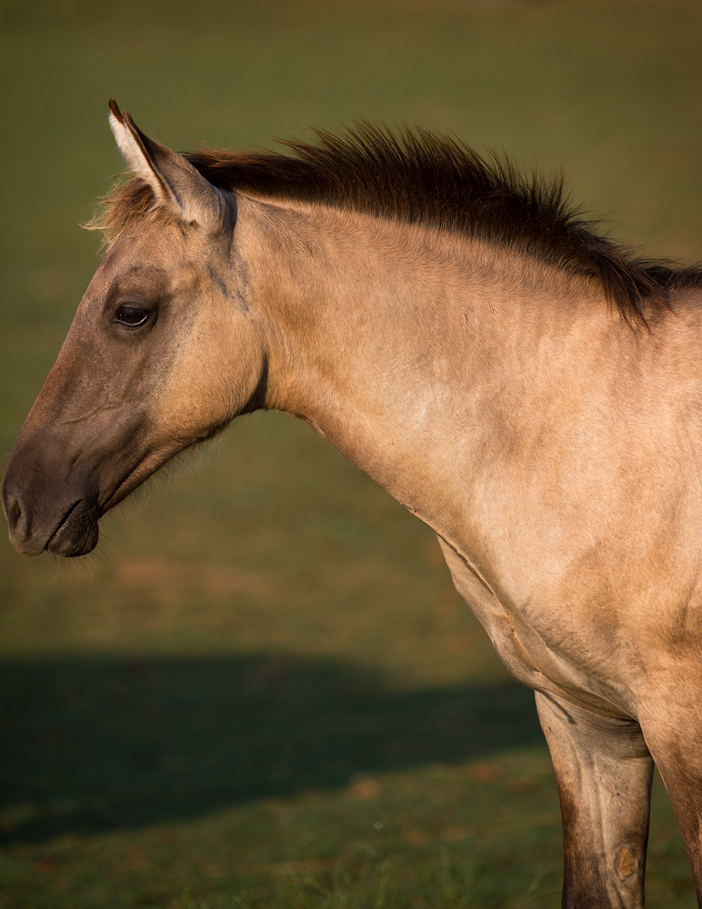 headshot of DEM Mielada half Lusitano filly