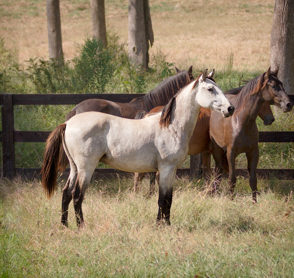 DEM Mojave sgray Lusitano colt standing in field