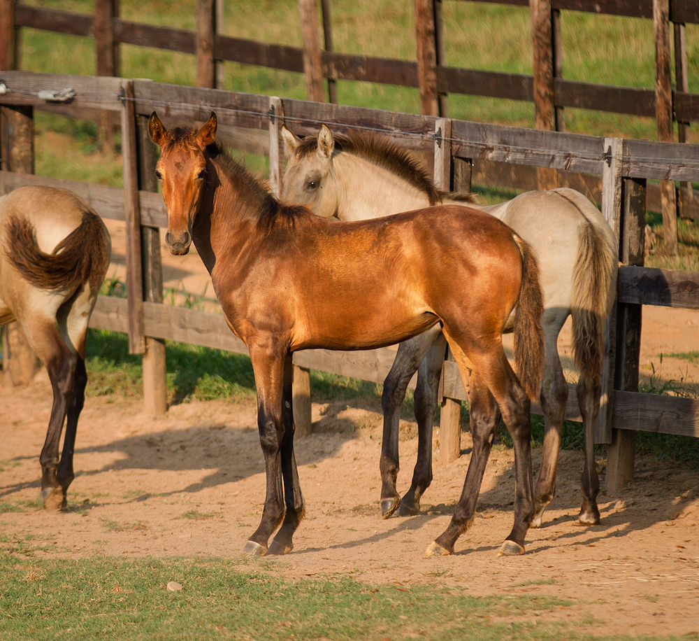 DEM Prada bay Lusitano filly standing beside other foals