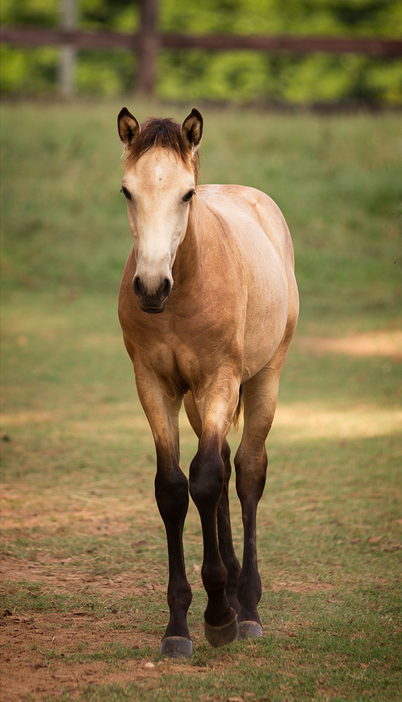 DEM Ramses a buckskin Lusitano colt walking through field