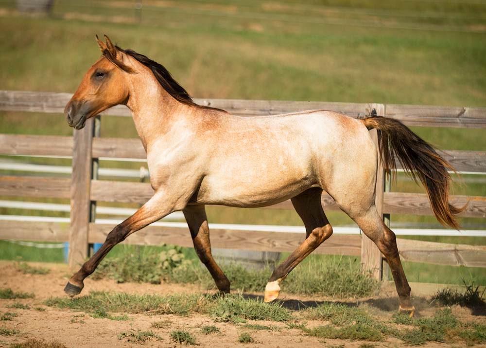 DEM Regala Lusitano Tennesse walker yearling filly trotting