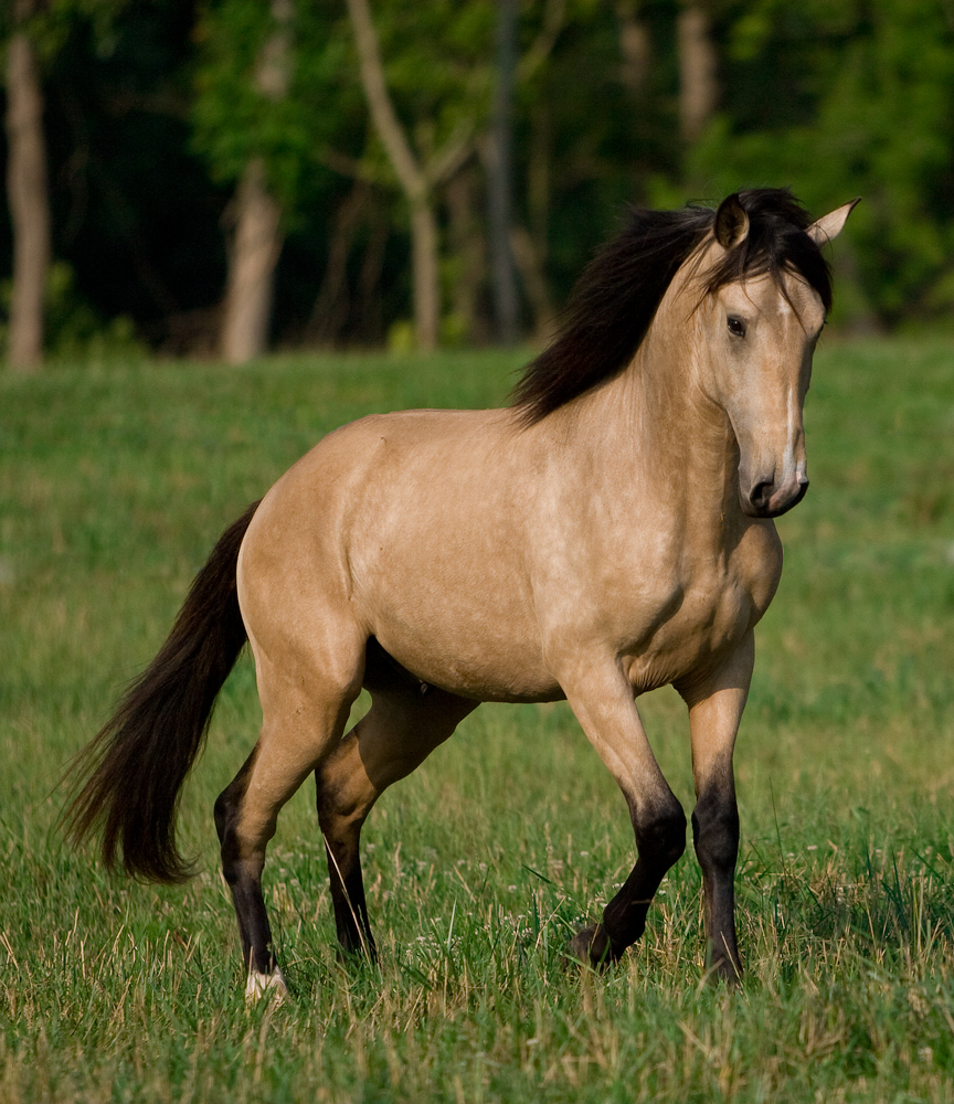 DEM Conquistador buckskin Lusitano stallion poised ready to charge forward