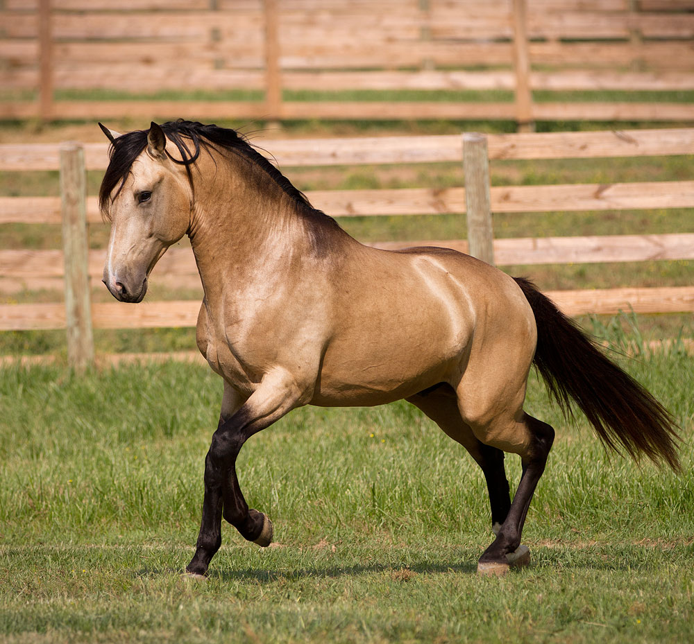 DEM Conquistador buckskin Lusitano stallion trotting across the grass with neck curved inward