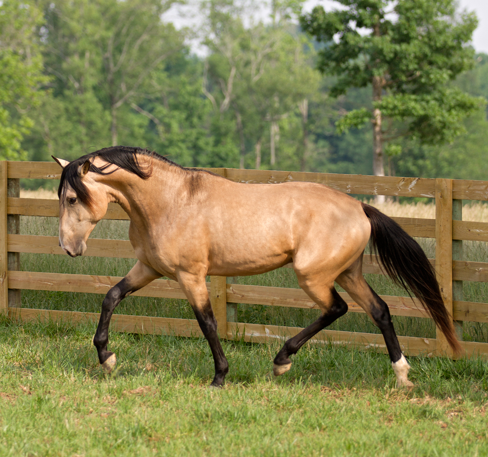 Photos Of Dem Conquistador Bucksin Lusitano Stallion Sold