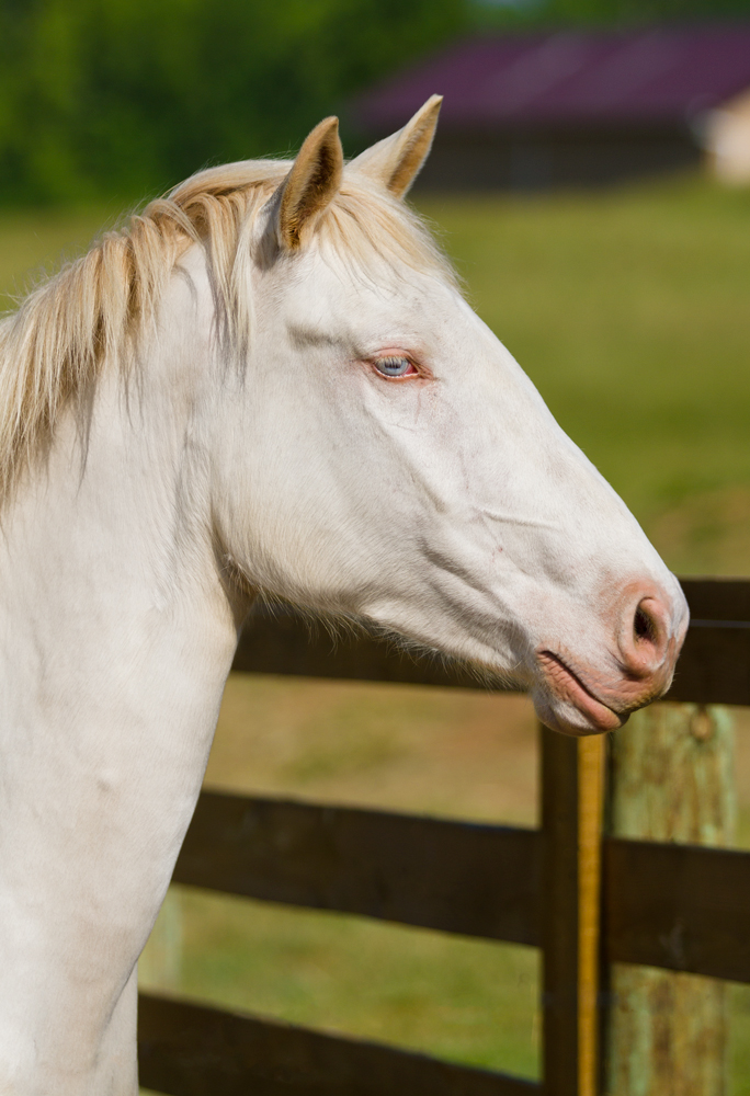 still headshot of DEM Cremebrule cremelo Lusitano mare looking over fence