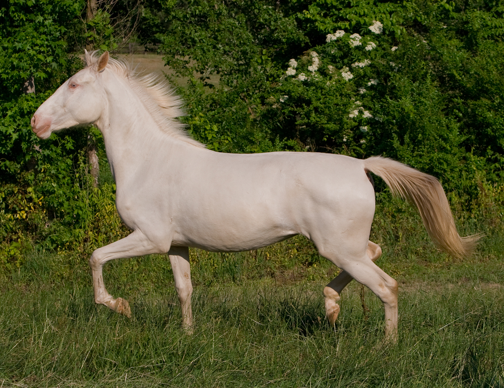 DEM Cremebrule cremelo Lusitano mare trotting