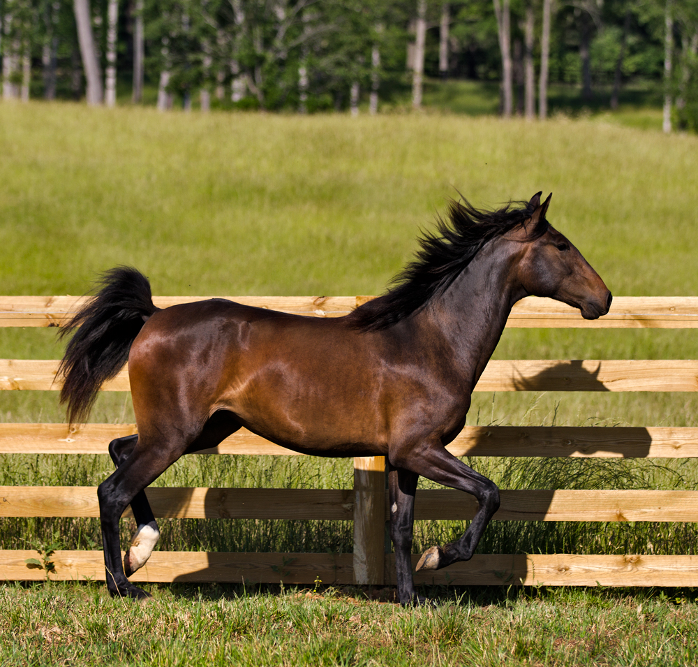 DEM Dulce bay Lusitano mare trotting with tail up