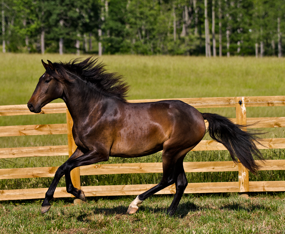 DEM Dulce bay Lusitano mare cantering with mane flying